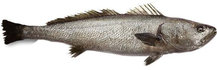 stone bass or meagre