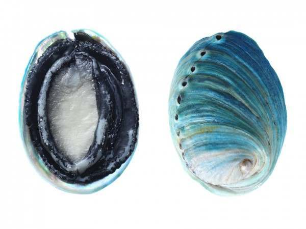 The front and back of the New Zealand blue abalone