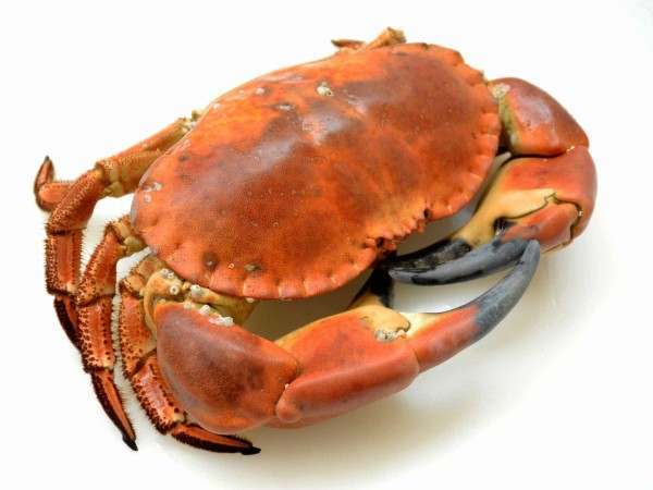 Whole cooked English crab