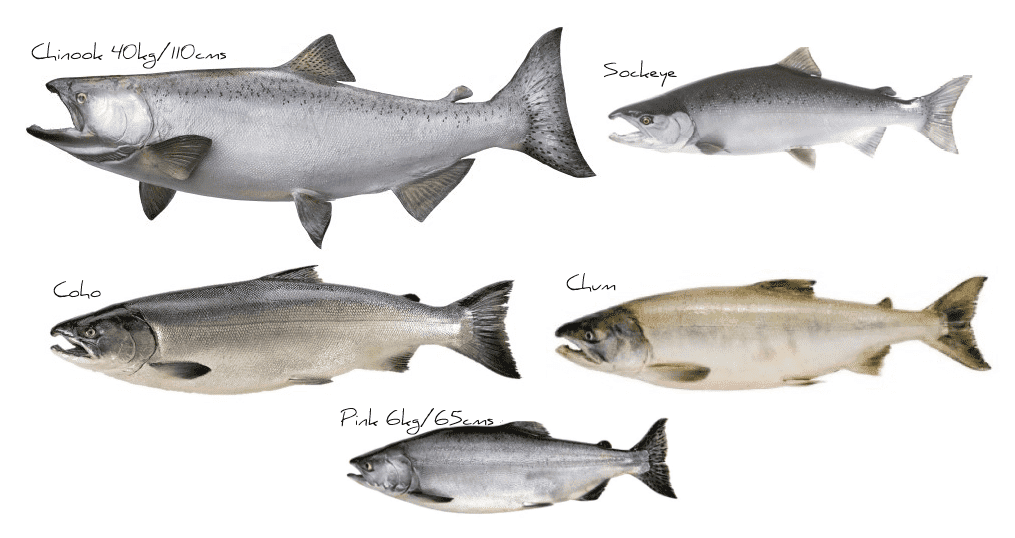 Pictures os chinook, sockeye, coc, chum and pink salmon