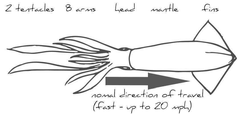 Squid drawing showing main body parts