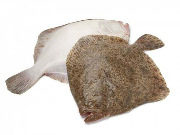 Two whole turbot on white background