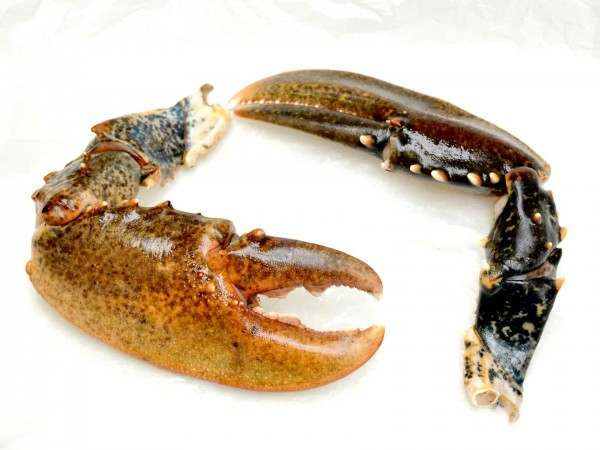 Lobster claws to be used for shellfish stock