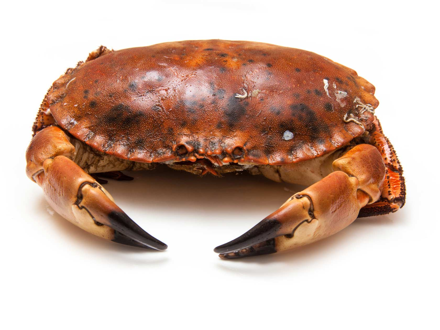 A fine brown crab