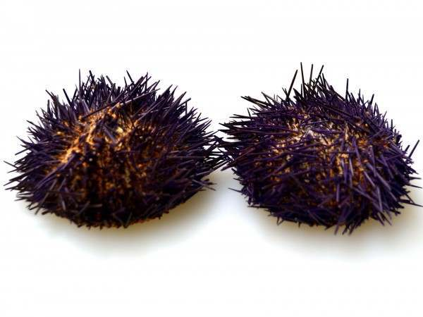 Two purple sea urchin shells