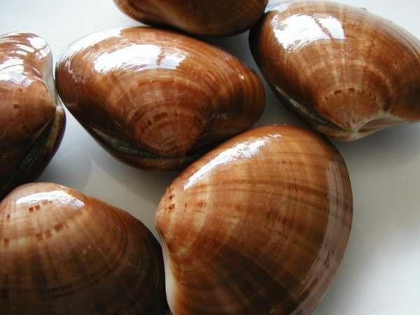 Fresh shiny verni clams