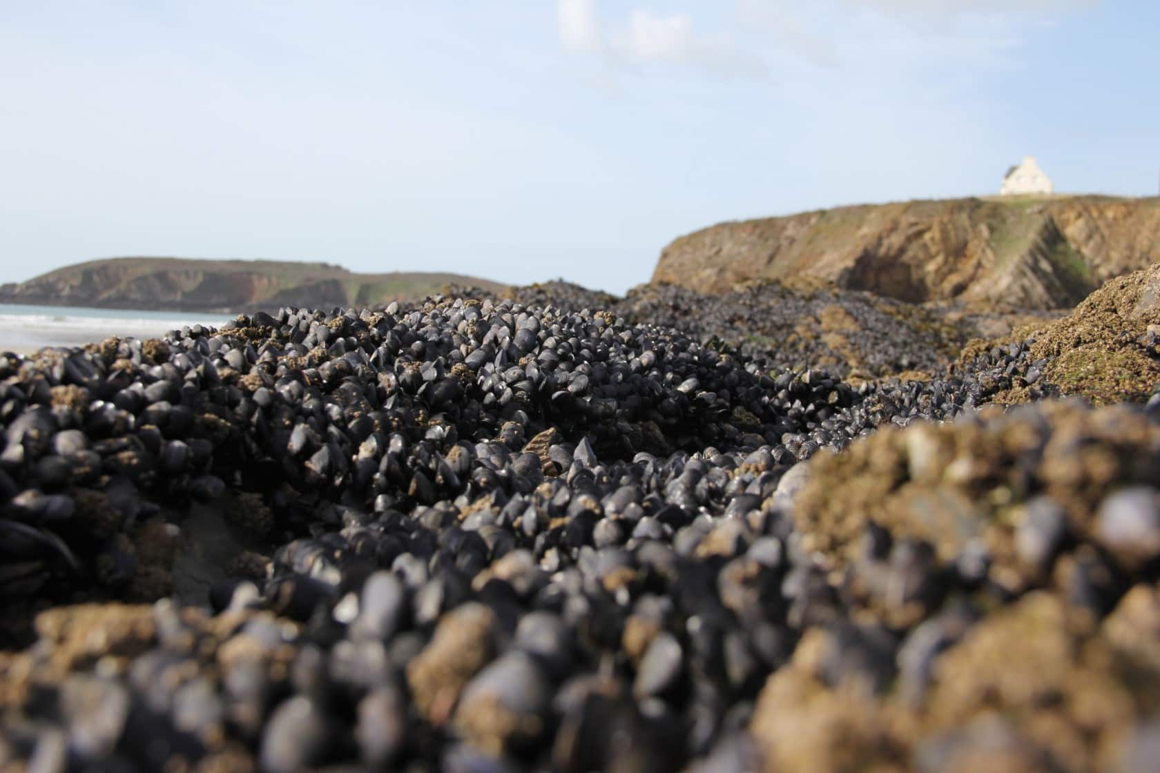 mussels on a rocky foreshore
