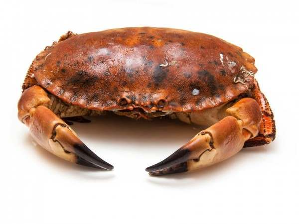 A whole cooked English brown crab